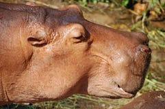Free Hippo Stock Photos - 1542133