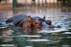 Hippo Royalty-vrije Stock Afbeelding