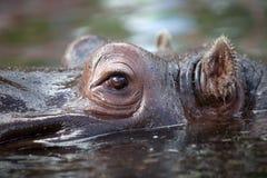 Hippo Royalty-vrije Stock Foto