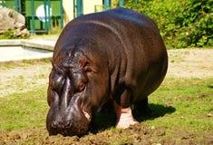 Hippo. Portrait of Hippo it Schoenbrunn ZOO-Vienna,Austria royalty free stock image