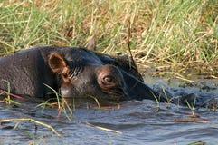 Hippo. In Okavango Delta, Botswana Stock Photos
