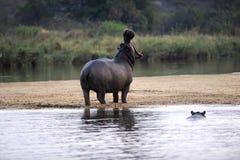 Free Hippo Royalty Free Stock Image - 18069556