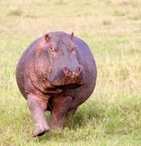 Hippo. A wild hippo in the Masai Mara game reserve in Kenya Royalty Free Stock Photography
