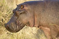 Hippo. The huge head of a hippo, Maasai Mara National Reserve, Kenya, East Africa stock images