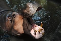 HIPPO Royalty Free Stock Photo