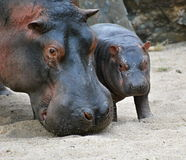 Hippo. Mother hippo and her baby Stock Image