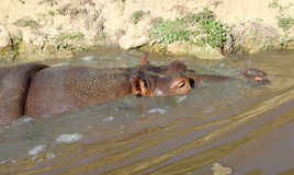Hippo Stock Photo