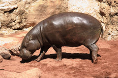 Hippo. Small hippo in a zoo Stock Images