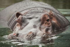 Hippo. A hippo in the water Royalty Free Stock Photos