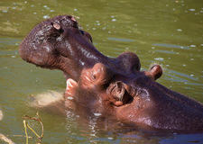 Hippo Stock Photos