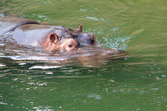 Hippo Royalty Free Stock Image