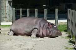 Free Hippo Royalty Free Stock Image - 2703006
