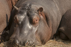 Hippo. The hippopotamus, or hippo, or river horse is a large mammal Stock Photo