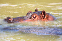 Hippo. The portrait of hippo in the water Royalty Free Stock Photos