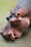 Hippo. Closeup of an adult hippo in the water Royalty Free Stock Photo