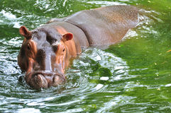 Hippo. Big hippo in the water Stock Photos
