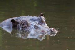 Hippo Royalty-vrije Stock Foto's