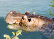 Hippo. Emerging from its waterhole for a breath Stock Image