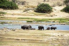 Hippo Stock Foto's