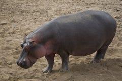 hippo Στοκ εικόνα με δικαίωμα ελεύθερης χρήσης