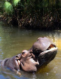 Hippo. Coming out of Water Stock Image