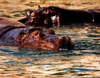 hippo Fotos de archivo