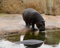 hippo Imagen de archivo