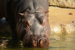 hippo Fotos de archivo libres de regalías
