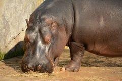 hippo Imagen de archivo libre de regalías