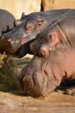 hippo Foto de archivo