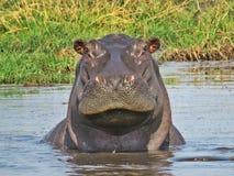 hippo Imagens de Stock Royalty Free