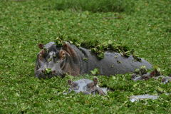 Hippo. S in a pool in a national park in Africa Royalty Free Stock Photos
