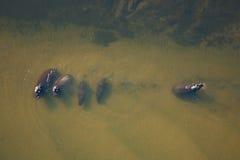 hippo στοκ εικόνες με δικαίωμα ελεύθερης χρήσης