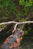 hippo fotografia de stock royalty free
