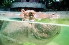 hippo Stock Foto