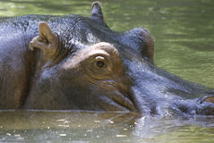 Hippo. Large hippo captured while coming up for air stock photo