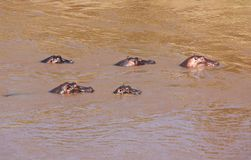 hippo foto de stock