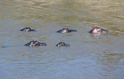 hippo imagem de stock