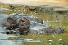 hippo Imagenes de archivo