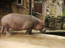 hippo Fotografía de archivo