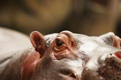 hippo Fotografie Stock Libere da Diritti