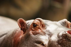 hippo Στοκ φωτογραφίες με δικαίωμα ελεύθερης χρήσης