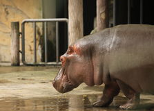 hippo Immagini Stock Libere da Diritti