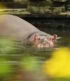hippo Immagini Stock