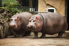 hippo Fotografia Stock