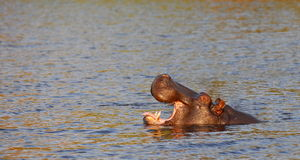 Hippo. A hippo takes its tounge out to get cooler Royalty Free Stock Photos
