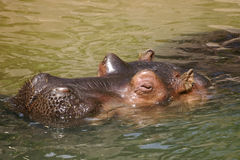 Hippo. Sleeping in the  pond at the zoo Royalty Free Stock Photos