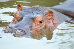 The hippo. Floating at the water surface in the pond Stock Images