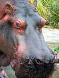 Hippo. Closeup of a hippo face Royalty Free Stock Image
