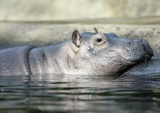 Hippo. Cute baby Hippo profile half submerged in water Stock Photos